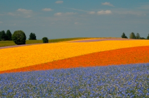 Willamette Valley Flower Fields